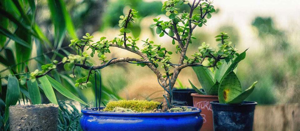 Bonsai For Beginners Bru Mar Gardens